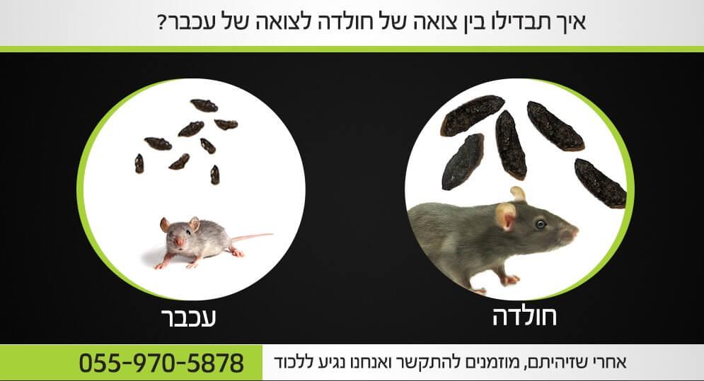 צואה של עכבר או חולדה