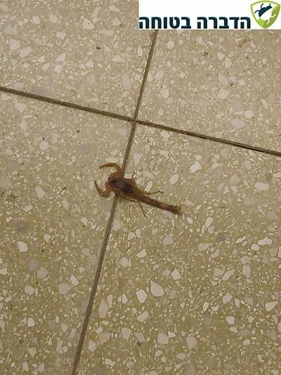 עקרב עקצן צהוב