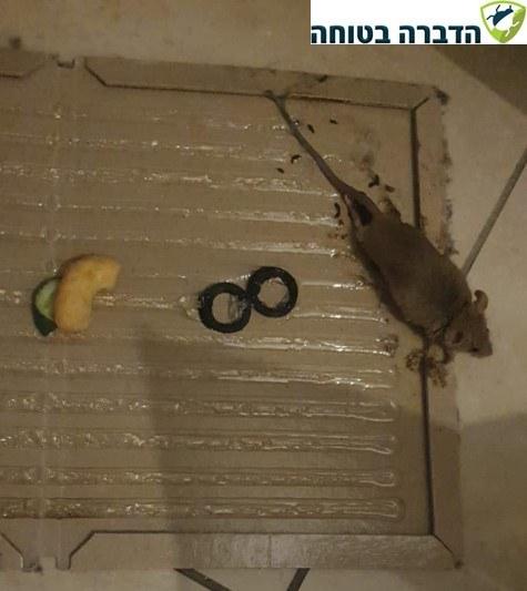 הדברת עכברים באמצעות מלכודת דבק