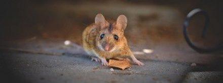 איך יודעים שיש עכבר בבית?