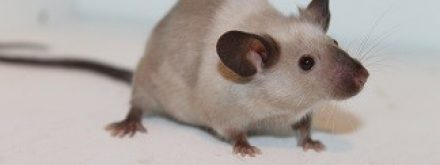 קקי של עכבר או חולדה